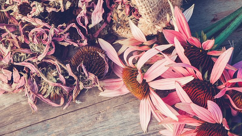 Echinacea flowers | reducing chance of catching cold