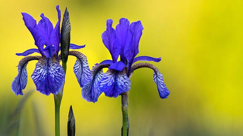 Blue flag flowers