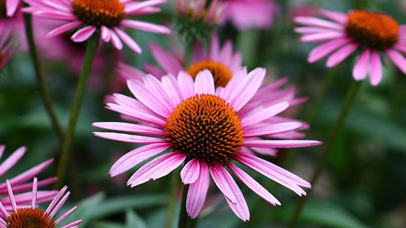 Echinacea flowers | fighting flu
